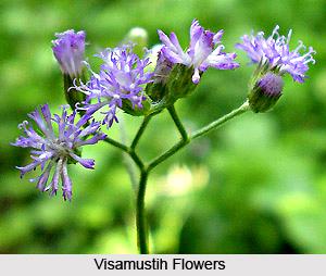 Visamustih, Indian Medicinal Plant