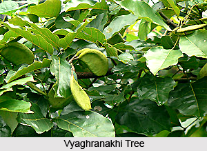 Vyaghranakhi, Indian Medicinal Plant