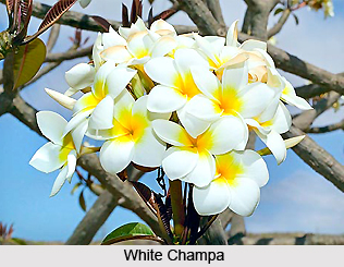 White Champa, Indian Medicinal Plant