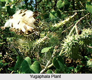 Yugaphala, Indian Medicinal Plant