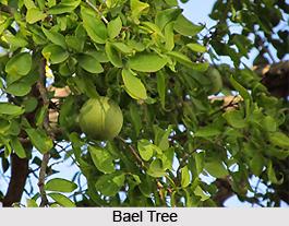 Bael Fruit , Indian Plant