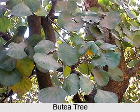 Butea, Indian Plant