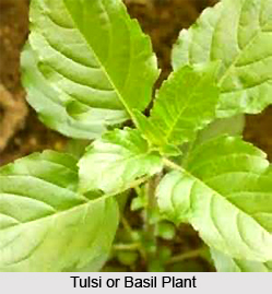 Female Diseases cured by Tulsi