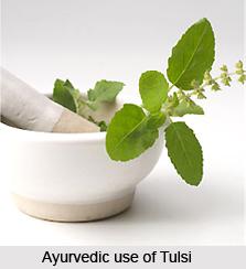 Tulsi, Indian Herb