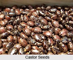 Castor Seeds, Indian Plant