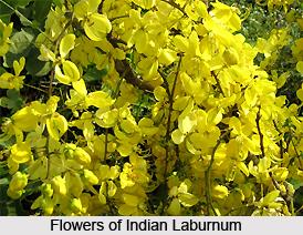 Indian Laburnum , Indian Plant