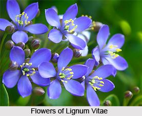 Lignum Vitae , Indian Plants