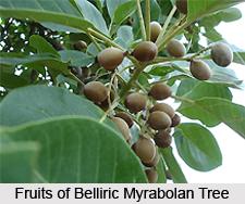 Belliric Myrabolan , Indian Plant