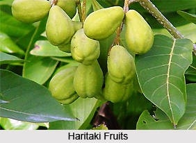 Haritaki, Indian Medicinal Plant