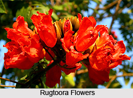 Rugtoora, Indian Medicinal Plant