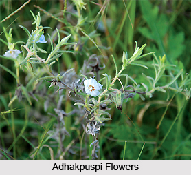 Adhakpuspi, Indian Medicinal Plant