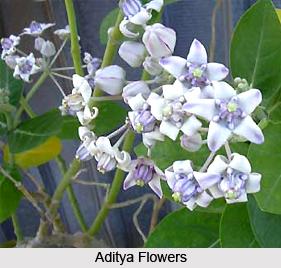 Aditya, Indian Medicinal Plant