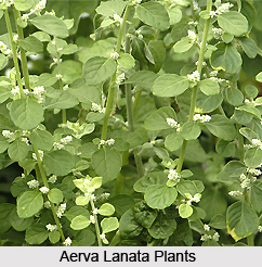 Aerva lanata, Indian Medicinal Plants