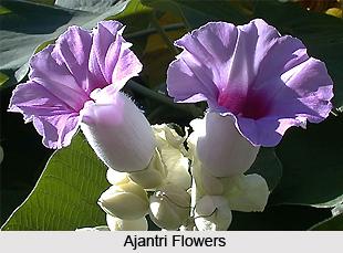 Ajantri, Indian Medicinal Plant