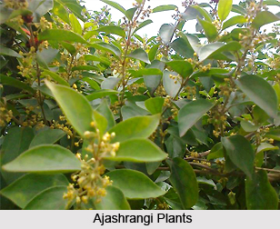 Ajashrangi, Indian Medicinal Plant
