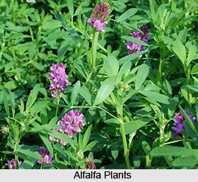 Alfalfa, Indian Herb