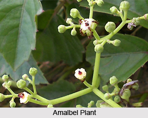 Amalbel, Fox Grape, Indian Medicinal Plant