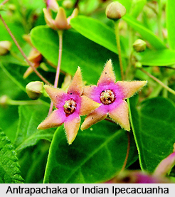 Antrapachaka, Indian Medicinal Plant