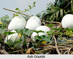 Ash Gourd, Indian Herb