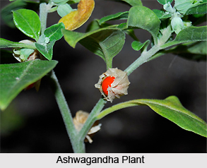 Ashwagandha , Indian Herb
