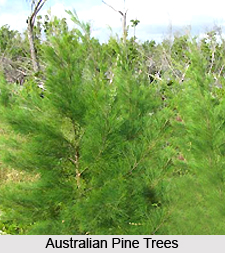Australian pine, Medicinal Plant