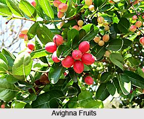Avighna, Indian Medicinal Plant
