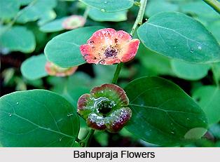 Bahupraja, Indian Medicinal Plant