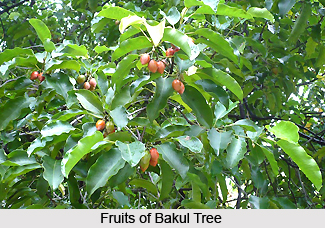 Bakul, Indian Medicinal Plant