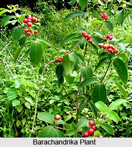 Barachandrika, Indian Medicinal Plant