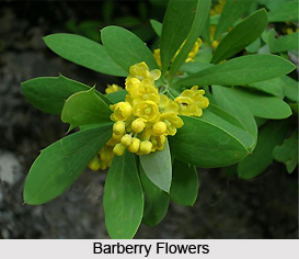 Barberry, Indian Herb