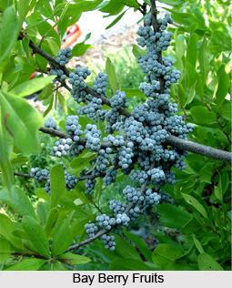 Bay Berry, Indian Herb