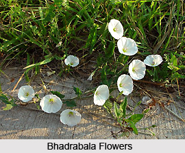 Bhadrabala, Indian Medicinal Plant