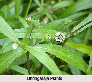 Bhringaraja, Indian Medicinal plant