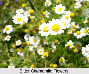 Bitter Chamomile, Indian Herb