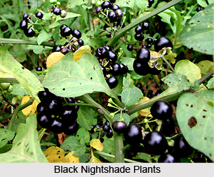 Black Nightshade, Indian Plant