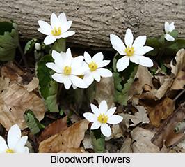 Bloodwort, Indian Herb