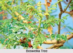 Boswellia , Indian Herb