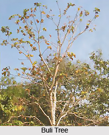 Buli, Indian Medicinal Plant