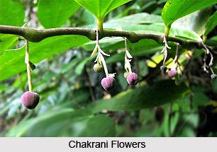 Chakrani, Indian Medicinal Plant