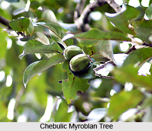 Chebulic Myroblan, Indian Plant