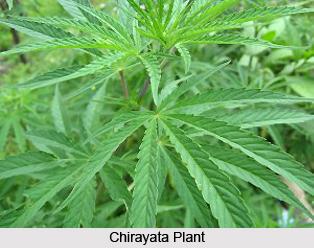 Chirayata, Indian Herb