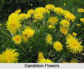Dandelion, Indian Herb