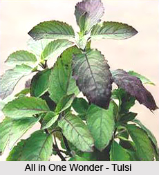 Diseases of the mouth,eyes,ears, nose and thorat cured by Tulsi
