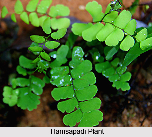 Hamsapadi, Indian Medicinal Plants