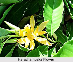 Harachampaka, Indian Medicinal Plant