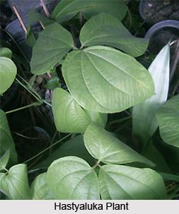 Hastyaluka, Indian Medicinal Plant