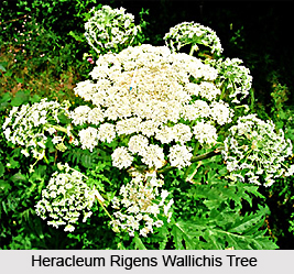 Heracleum rigens Wallichis, Indian Medicinal Plant