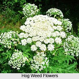 Hog Weed, Indian Herb