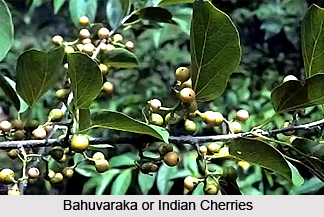 Indian Cherry, Bahuvaraka, Indian Medicinal Plant