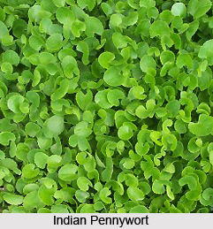 Indian Pennywort, Herb